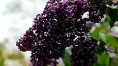 Purple Lilacs Stock Photos
