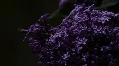 Lilacs at Night Stock Photos