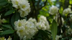 White Rhododendrons Stock Photos