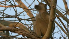 Young Savanna Baboon in tree, staring at the sky. Niassa Reserve, Mozambique. Stock Footage
