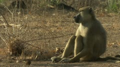 Adult Savanna Baboon sitting in Niassa Reserve, Mozambique. Stock Footage