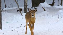 Young deer Stock Footage
