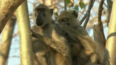Adult Savanna Baboons in tree, grooming. Niassa Reserve, Mozambique. Stock Footage