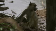 Young Savanna Baboon sitting next to water. Niassa Reserve, Mozambique. Stock Footage