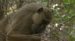 Adult Savanna Baboon eating in tree. Niassa Reserve, Mozambique. Stock Footage