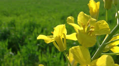 RAPESEED FLOWER AGAINST A YELLOW FIELD - stock footage