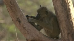 Young Savanna Baboon in tree, eating fruit. Niassa Reserve, Mozambique. Stock Footage