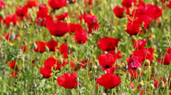 Many red poppy flowers in field Stock Footage