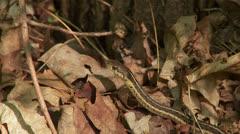Eastern Garter Snake (Thamnophis sirtalis sirtalis) 2 Stock Footage