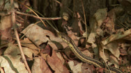 Stock Video Footage of Eastern Garter Snake (Thamnophis sirtalis sirtalis) 2