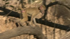 Infant Savanna Baboons playing in tree. Niassa Reserve, Mozambique. Stock Footage