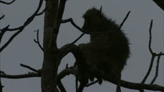 Adult Savanna Baboon in tree, resting. Niassa Reserve, Mozambique. Stock Footage