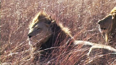 Lion with Pride in Africa  Stock Footage