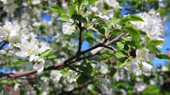 Blossom apple tree branches close-up - stock footage