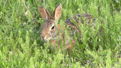 Cottontail Munches on Grass III Stock Footage
