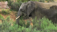 Stock Video Footage of African Elephant Eating Grass