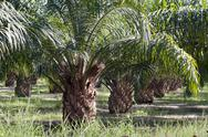 Stock Photo of oil palm plantation