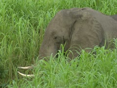 African Savanna Elephant eating grass in Niassa Reserve, Mozambique. - stock footage