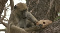 Female adult Savanna Baboon in tree, eating fruit. Niassa Reserve, Mozambique. Stock Footage