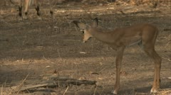 Antelope calf and infant Savanna Baboons in Niassa Reserve, Mozambique. Stock Footage