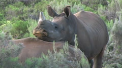African Black Rhino in the Wild Stock Footage