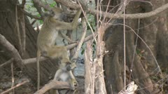 Young Savanna Baboons relaxing in tree at water. Niassa Reserve, Mozambique. Stock Footage