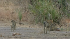 Savanna Baboons active in Niassa Reserve, Mozambique. Stock Footage