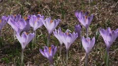Crocuses Stock Footage