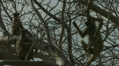Savanna Baboons sitting in tree, resting. Niassa Reserve, Mozambique. Stock Footage