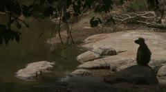 Savanna Baboon at water. Niassa Reserve, Mozambique. Stock Footage