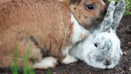 Stock Video Footage of Two bunnies snuggle