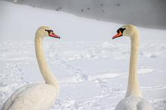 mute swans in love - stock photo