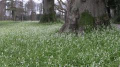 Wild Garlic white Allium spring flowers at base of mature woodland trees Stock Footage