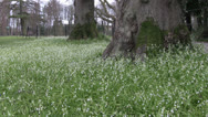 Stock Video Footage of Wild Garlic white Allium spring flowers at base of mature woodland trees