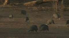 Guinea fowls foraging in Niassa Reserve, Mozambique. Stock Footage