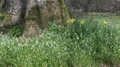 Wild Garlic white Allium spring flowers at base of mature woodland tree Stock Footage