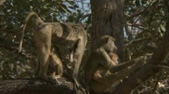 Savanna Baboon family in tree, grooming. Niassa Reserve, Mozambique. Stock Footage