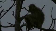 Female adult Savanna Baboon in tree with infant. Niassa Reserve, Mozambique. Stock Footage