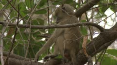 Infant Savanna Baboon in tree, eating. Niassa Reserve, Mozambique. Stock Footage