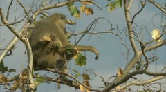 Adult Savanna Baboon in tree, calling. Niassa Reserve, Mozambique. Stock Footage