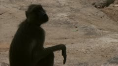 Savanna Baboon sitting on rock. Niassa Reserve, Mozambique. Stock Footage