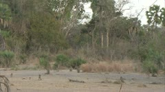Savanna Baboons, antelopes and mongoose active in Niassa Reserve, Mozambique. Stock Footage
