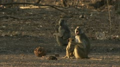 Female adult Savanna Baboons with their infants. Niassa Reserve, Mozambique. - stock footage