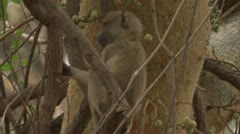 Infant Savanna Baboon in tree, eating fruit. Niassa Reserve, Mozambique. Stock Footage