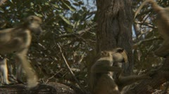 Female Savanna Baboon in tree, grooming. Niassa Reserve, Mozambique. Stock Footage