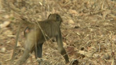 Young Savanna Baboon foraging in Niassa Reserve, Mozambique. Stock Footage