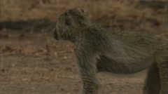 Young Savanna Baboon sanding in Niassa Reserve, Mozambique. Stock Footage