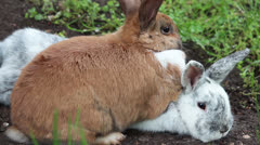 Two bunnies snuggle Stock Footage