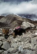 sherpa porter and yak - stock photo