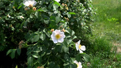 Wild rose Stock Footage